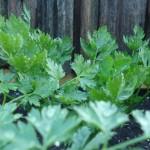 Lettuce Celery